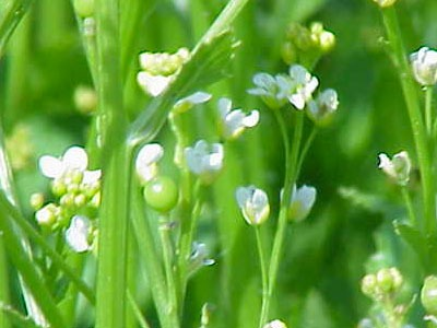 Aceite vegetal de Abisinia:  Crambe Abyssinica Seed Oil